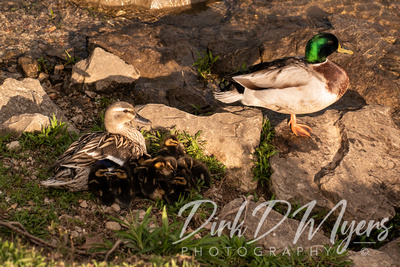 A Duck Family on Lake Taneycomo